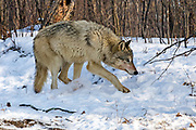 Gray wolf(Canis lupus) in winter habitat. Captive animals.