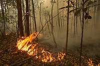 Wind spread a fire from the forest edge into the research forest area.  The surface leaf litter is burning away quickly with flames, and the peat beneath is being ignited and can be seen glowing red in areas when the flames have passed.  <br /> <br /> Sebangau Orangutan Research Site (CIMTROP)<br /> Central Kalimantan Province, Indonesia<br /> Island of Borneo