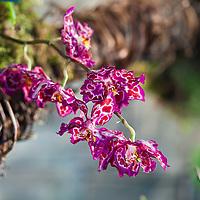 Odontioda Phoenix March orchid