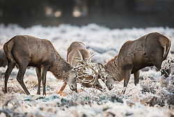 © Licensed to London News Pictures. 25/11/2017. London, UK. Three stags lock horns in a frost covered landscape at Bushy Park, London at sunrise on November 25, 2017 as a drop in temperatures hits the UK. Photo credit: Peter Macdiarmid/LNP