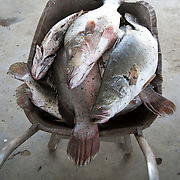 Kenya. Mbita on shore of Lake Victoria. Homa Bay county. Recently caught Nile perch