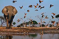 African elephant, Loxodonta africana, at waterhole with sand grouse, Botswana