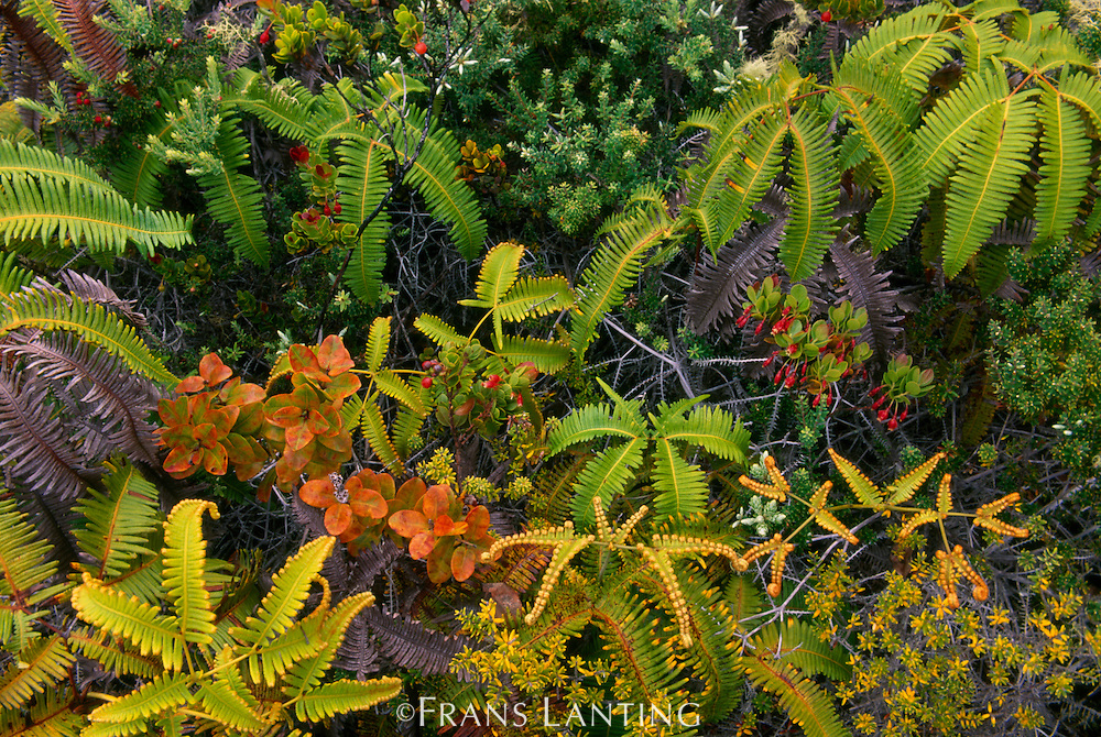 Pioneering vegetation on lava flow, Hawaii Volcanoes National Park, Hawaii
