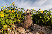A Laysan Albatross (Phoebastria immutabilis) chick is surrounded by Golden Crown-beard ((Verbesina encelioides). The plant is an invasive species that is threatening the Albatross breeding areas. Midway Atoll National Wildlife Refuge.