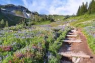 Summer Wildflowers (Paintbrush, Lupines and Mountain Heather) along the Golden Gate Trail at Paradise in Mount Rainier National Park, Washington State, USA