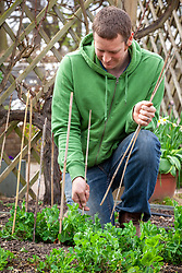 Supporting garden peas with canes - Pisum sativum