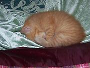 Manx Kitten, the Sleep of the Innocent..