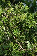 Coca - Saturday, Dec 22 2007: A Yellow-crowned Amazon (Amazona ochrecephela) (top) and a Mealy Amazon (Amazona farinosa) (bottom) perch in a tree near a clay lick at Yasuni National Park. (Photo by Peter Horrell / http://www.peterhorrell.com)