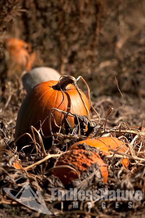 Pumpkins in a local farmers pumpkin patch.