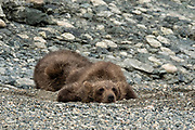 Grizzly bear spring cubs rest on the shore of the lower lagoon at the McNeil River State Game Sanctuary on the Kenai Peninsula, Alaska. The remote site is accessed only with a special permit and is the world's largest seasonal population of brown bears.