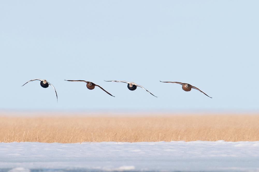 Spectacled Eiders, Somateria fischeri, male, female,  Yukon Kuskokwim Delta NWR, Alaska