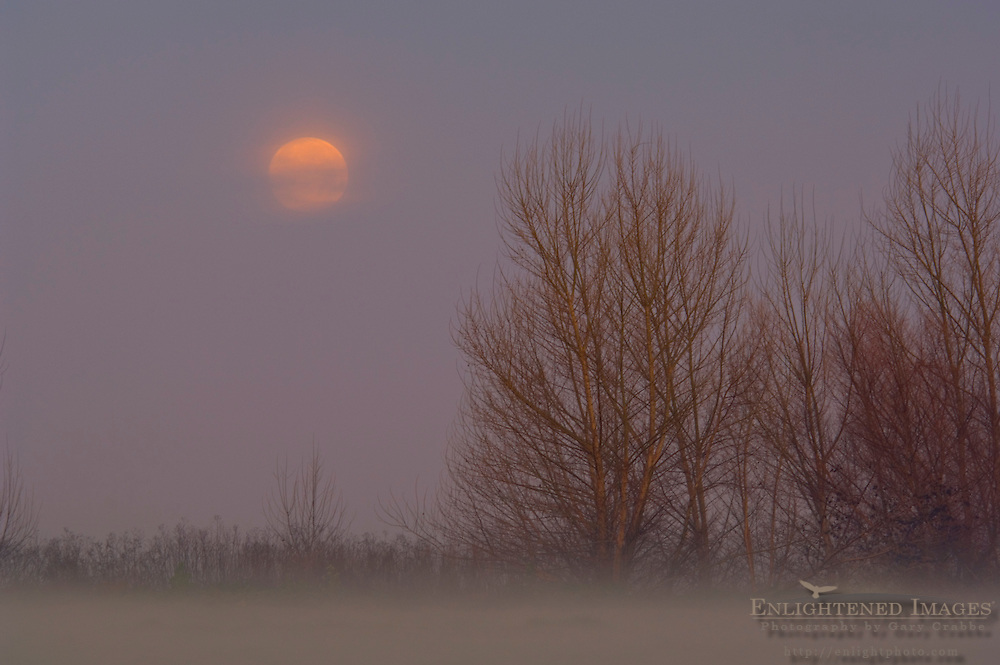 Full moon setting at dawn over trees and radiation fog in field, Merced National Wildlife Refuge, Central Valley, California