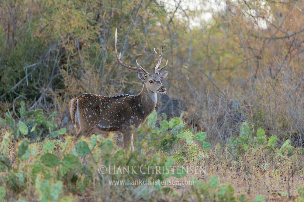 An adult chital stands in a patch of cactus, Mudumalai National Park, India.
