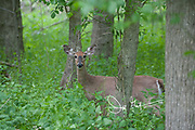 A White-tailed deer stands in a forest in springtime.