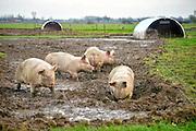Nederland, Zeddam, 31-1-2016Op een biologische varkenshouderij, boerderij, lopen de dieren constant buiten en wroeten in de modder.Foto: Flip Franssen