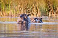 Two hippos stare from a lagoon, Kwetsani camp, Okavango Delta, Botswana / Hipopótamos, campo Kwetsani, Delta del Okavango, Botwsana