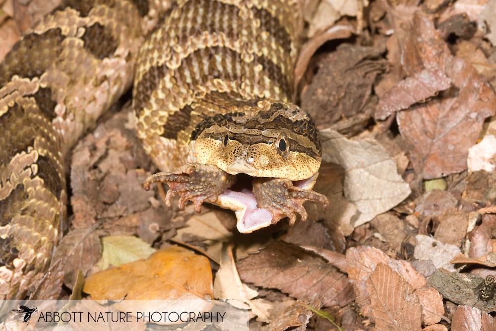 Heterodon platirhinos (Eastern hognose snake) - eating Bufo nebulifer toad<br /> TEXAS: Travis Co.<br /> Brackenridge Field Laboratory; Austin<br /> 5-June-2008<br /> J.C. Abbott