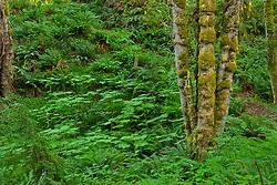 A trail climbs across a hillside of Sword Ferns (Polystichum munitum) and Devil's Club (Oplopanax horridus) in the Anderson Landing Preserve on the Kitsap Peninsula of Washington, USA