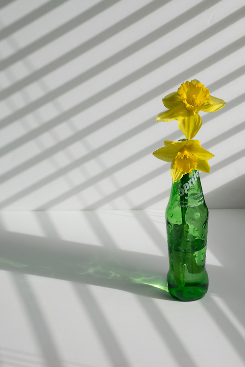 Still life with a old glass sprite bottle and beautiful yellow daffodils. Santa Monica, CA 4.17.17