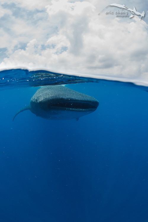 A over/under shot of a whale shark (Rhincodon typus) feeding at the surface during a whale shark aggregation off the coast of Isla Mujeres, Mexico