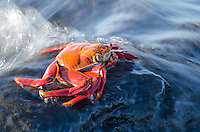 Water splashing around a Sally Lightfoot Crab, Grapsus grapsus on Santiago Island in Galapagos National Park, Ecuador.