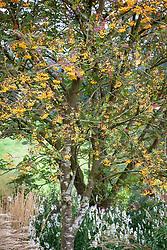 The berries of Sorbus 'Joseph Rock' - Mountain ash - with Leucanthemella serotina AGM - autumn ox-eye.