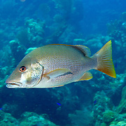 Dog Snapper inhabit mid-range reefs, in Tropical West Atlantic; picture taken Roatan, Honduras.