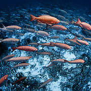 Thousands of crescent-tail bigeye fish (Priacanthus hamrur) swarming over sand and coral bottom in deep water at the entrance to Tiputa Pass in Rangiroa, Tahiti