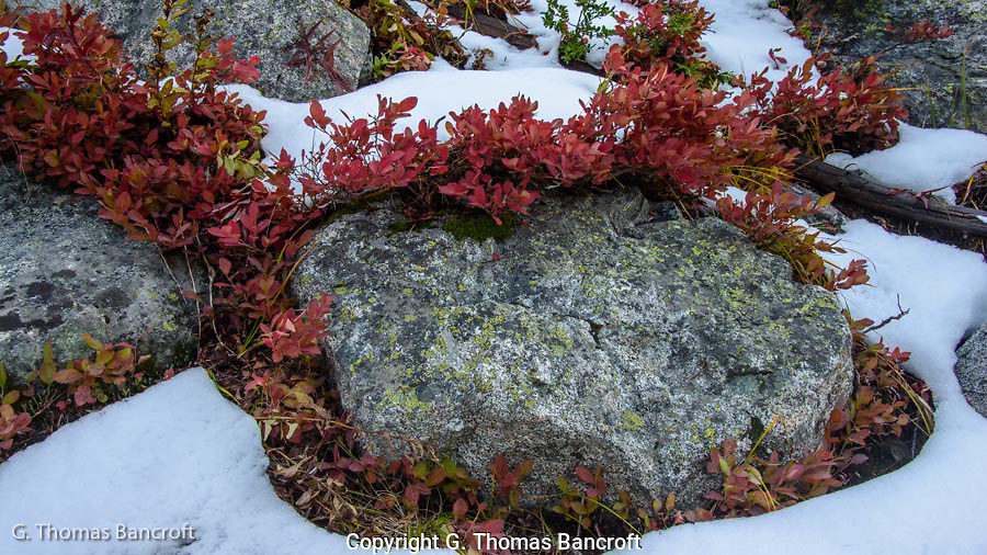 The blueberries leaves had turned a crimson color and stood out against the granite and snow.