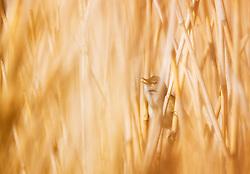 Eurasian Reed-Warbler (Acrocephalus scirpaceus) singing in Norway