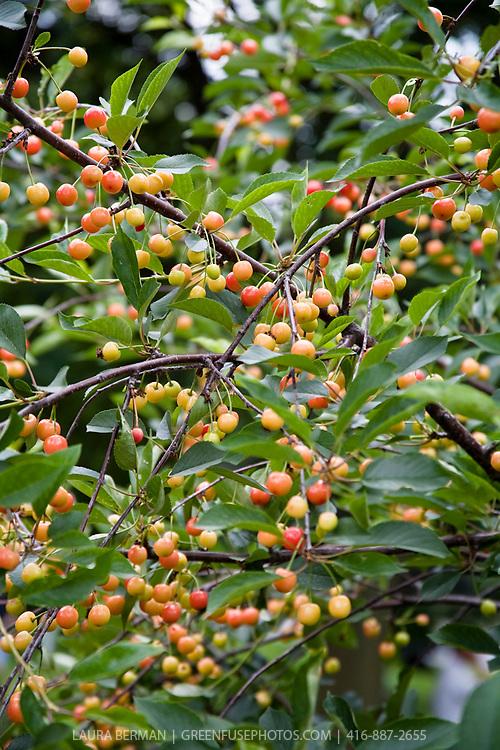 Sour cherries on the tree.