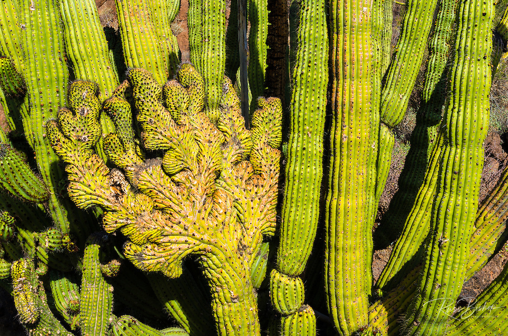 Organ Pipe cactus, Organ Pipe Cactus National Monument, Arizona USA