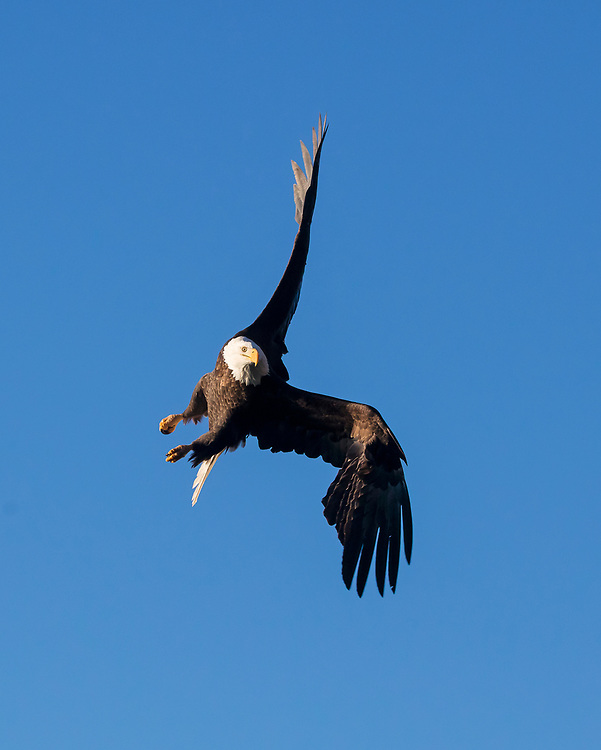 Alaska. Bald Eagle (Haliaeetus leucocephalus) turning in flight over water, Kachemak Bay.