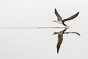 Black Skimmer reflection, skimming along the surface of the water