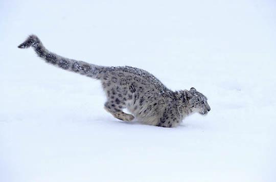 Snow Leopard, (Panthera uncia) Running. Inhabits Himalaya mountains, Asia.  Captive Animal.