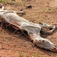 Un caballo muerto yace en el campo. El Hato Piñero, ubicado en los llanos centrales de Venezuela, Estado Cojedes; constituye un desarrollo que se caracteriza por el turismo ecológico, donde los visitantes pueden disfrutar de la diversidad de la fauna, las actividades ganaderas y agroindustriales. El Hato Piñero es un retiro para los amantes de la naturaleza, observadores de aves o los viajeros que simplemente buscan paz y tranquilidad. Estado Cojedes. Venezuela. A dead horse lies in the field. El Hato Piñero, located in the central plains of Venezuela, Cojedes State; It is a development characterized by ecological tourism, where visitors can enjoy the diversity of fauna, livestock and agroindustrial activities. El Hato Piñero is a retreat for nature lovers, birdwatchers or travelers who simply seek peace and tranquility. Cojedes State. Venezuela.