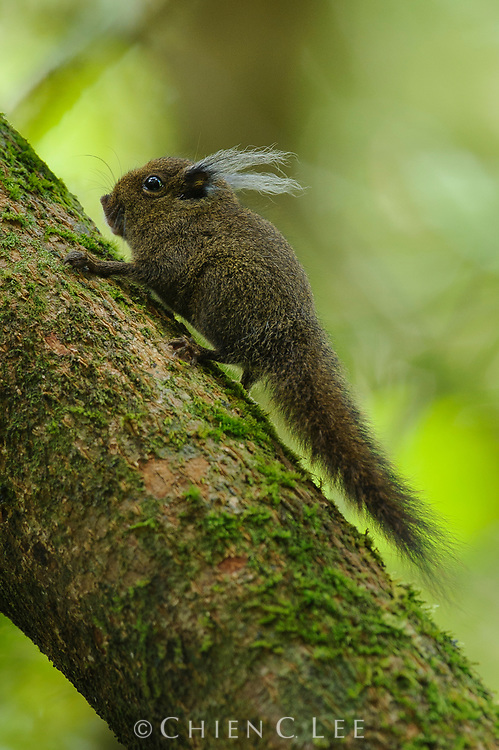 Whitehead's Pigmy Squirrel (Exilisciurus whiteheadi), also known as the Tufted Pigmy Squirrel, is endemic to the mountains of Borneo.  It feeds almost entirely on the mosses and lichens growing on tree trunks.
