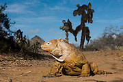 Land Iguana (Conolophus subcristatus) and Giant Prickly Pear Cactus (Opuntia echios)<br /> Cerro Dragon (Dragon Hill)<br /> Santa Cruz<br /> Galapagos<br /> Ecuador, South America<br /> Endemic