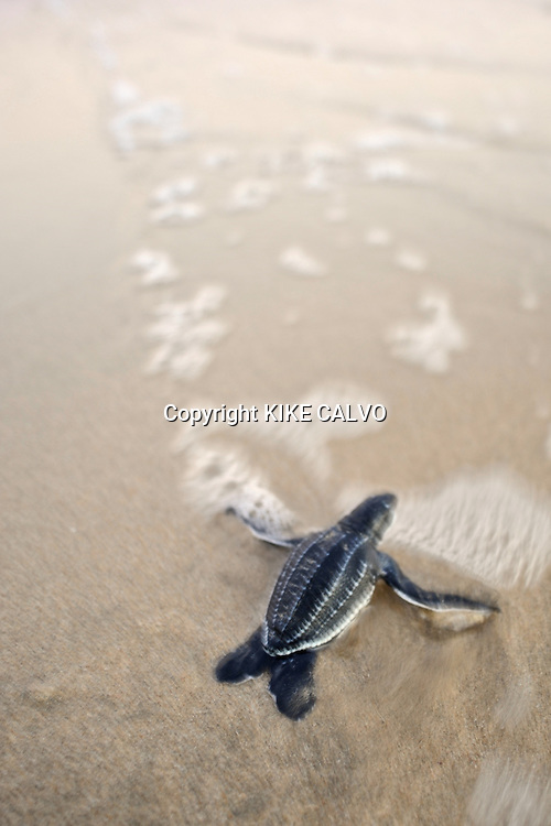 A tiny leatherback turtle ( Dermochelys coriacea) advances into the ocean at Playa Ventanas, next to Playa Grande. The area is a Marine Turtle National Park, a prime nesting site of this species on the Costa Rican Pacific coast. B1276