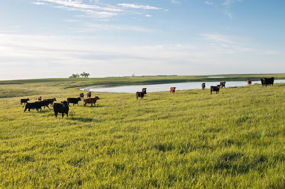Cattle, prairie pothole, south central North Dakota