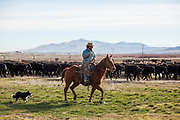 Joe Heguy herds cattle to be vaccinated. (Nick Gonzales for the High Country News)