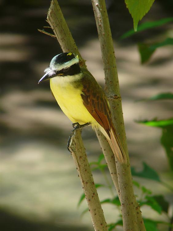 EN&gt; a great kiskadee standing on its perch in Chiapas, Mexico | <br /> SP&gt; bienteveo posado en una percha en Chiapas, Mexico