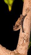 Kuhl's pipistrelle, (Pipistrellus kuhlii)