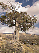 Bristlecone Pine, Pinus aristata. Sand Wash Basin,  Colorado, USA, (Photo: Isobel Springett)