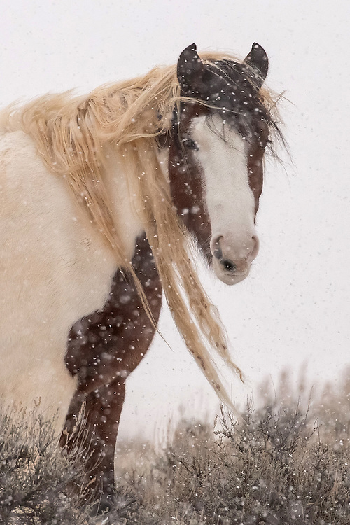 The young filly, Topeka, braces for winter at the McCullough Peaks Herd Management Area outside Cody, Wyoming.