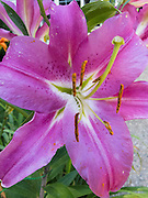 Pollen covered stamens extend from the white throat of a pink lily flower blooming in a Virginia garden, USA.