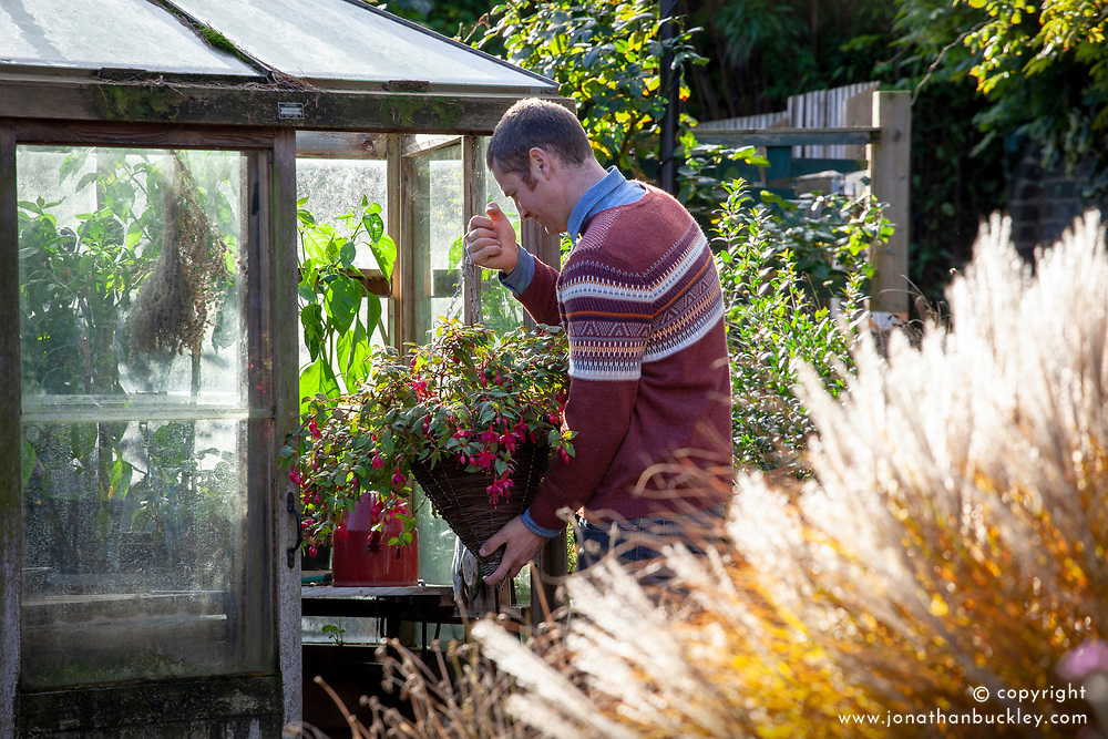 Bringing a tender fuchsia hanging basket into the greenhouse for winter protection.