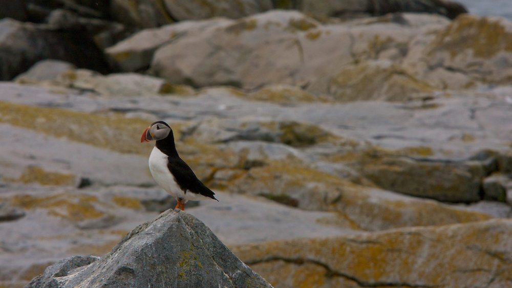 An Atlantic Puffin on Machias Seal Island, Maine, waiting for its mate to return to the nest with a meal, usually sand eels, herring or capelin.