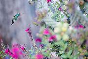 Broad-billed Hummingbird, Cynanthus latirostris, male, Santa Cruz County, Arizona