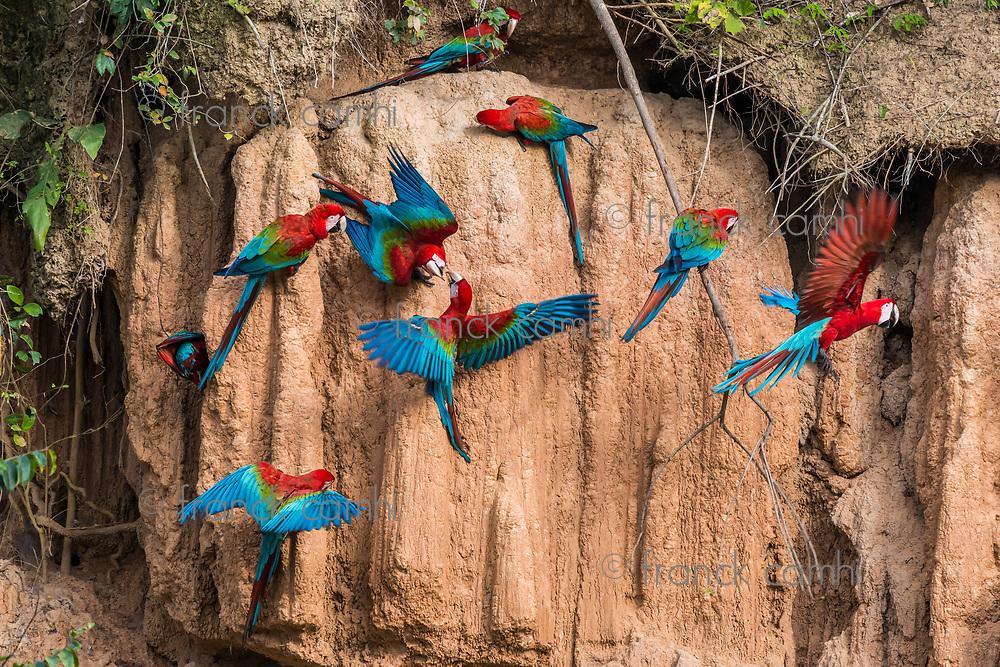 macaws in clay lick in the peruvian Amazon jungle at Madre de Dios Peru